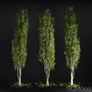 Tree N°8 Poplar