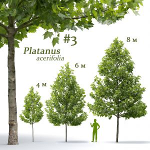 Plane-tree Platanus Acerifolia V3