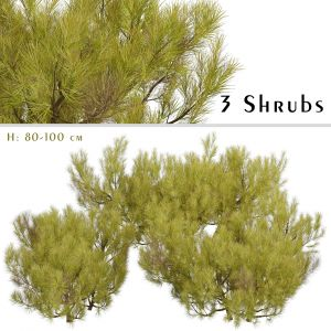 Set of Pinus Mugo Shrubs (Little Gold Star)