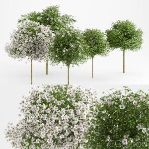 Hibiscus Trees