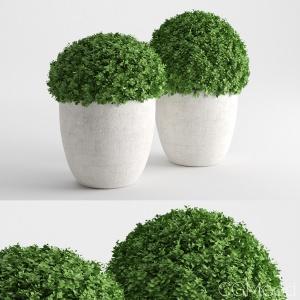 Bush Pot