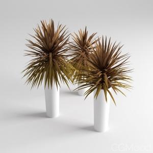 Red Star Dracaena Palm
