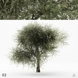 Olive Tree 02