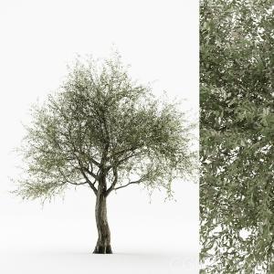 Olive Tree 04