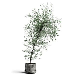 Corocia Plant