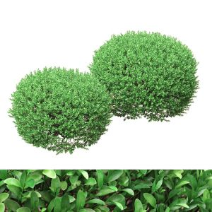 Rounded Boxwood Shurbs 91 - 106cm High
