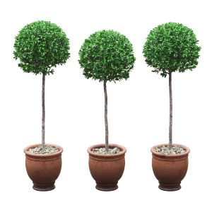 Potted Buxus Balls On Stem