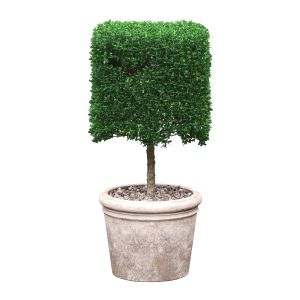 Potted Topiary Buxus 01