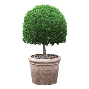 Potted Topiary Buxus 02