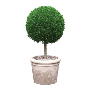 Potted Topiary Buxus 03