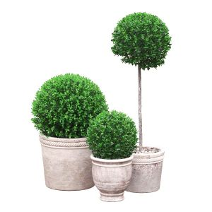 Potted Topiary Buxus 04