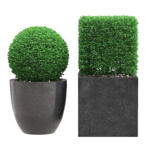 Potted Topiary Buxus 06