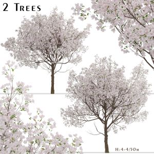 Set of Yoshino Cherry Trees (Prunus yedoensis)