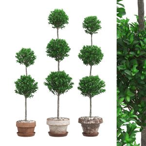 Potted Topiary Buxus 07