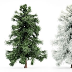Alaska Cedar-spring To Winter