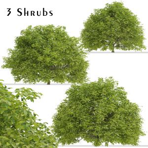 Set of Euonymus japonicus Shrubs ( Spindle )