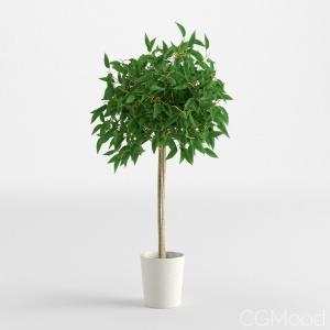 Ficus Benjamina 2