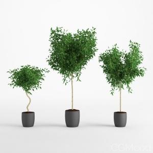 Ficus Benjamina 1