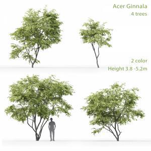 Acer Ginnala #1