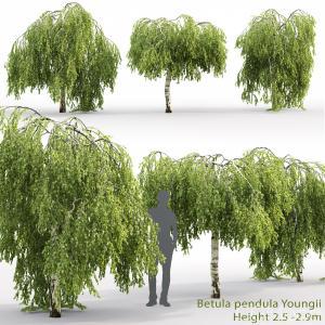 Betula Pendula Youngii #2(2.5-2.9m)