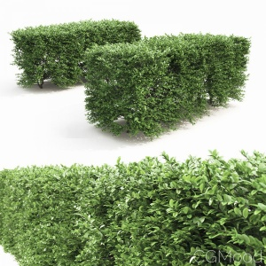 Buxus Sempervirens Hedge #1