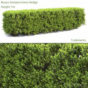 Buxus Hedge #2