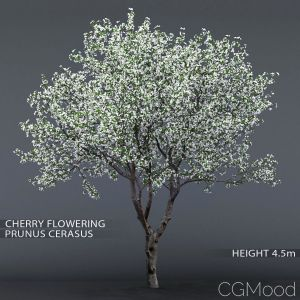 Cherry-tree Flowering #1