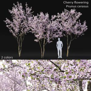 Cherry-tree Flowering #3