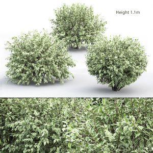Cornus Alba Elegantissima #1