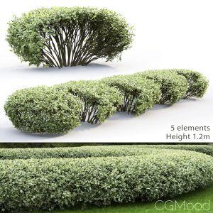 Cornus Alba Elegantissima Hedge #1
