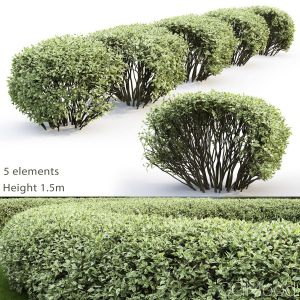 Cornus Alba Elegantissima Hedge #2