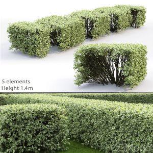 Cornus Alba Elegantissima Hedge #3