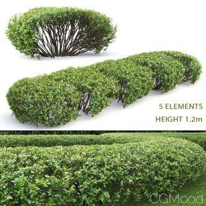 Cotoneaster Lucidus Hedge #1