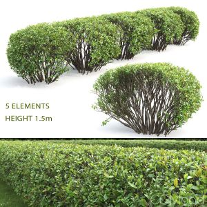 Cotoneaster Lucidus Hedge #2