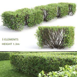 Cotoneaster Lucidus Hedge #3