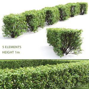 Cotoneaster Lucidus Hedge #4