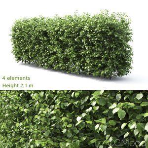 Crataegus Hedge #3(2.1m)
