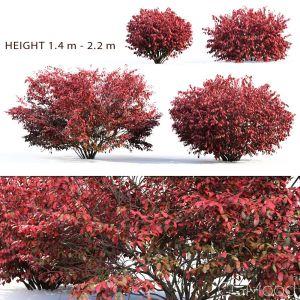 Euonymus Bush #2