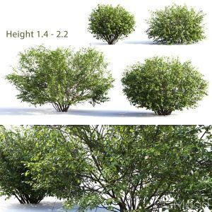 Euonymus Bush #4