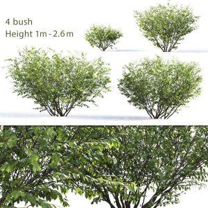 Euonymus Bush #5
