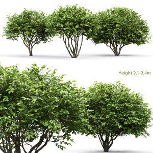 Euonymus Bush #6
