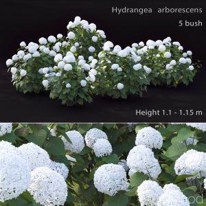 Hydrangea Arborescens Bush #2