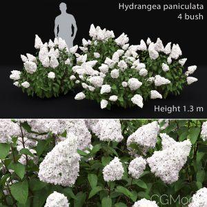 Hydrangea Paniculata Bush #2