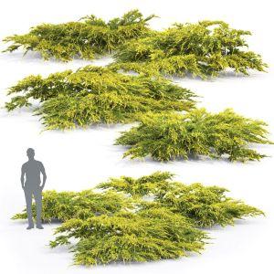 Juniperus Pfitzeriana Aurea #2