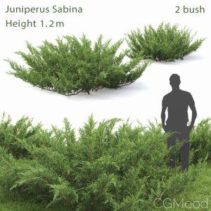 Juniperus Sabina #1
