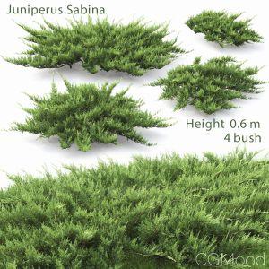 Juniperus Sabina #2