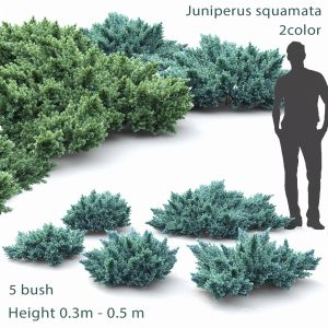 Juniperus Squamata #1