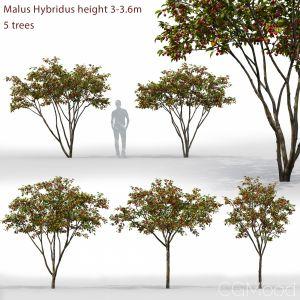 Malus Hybridus #1