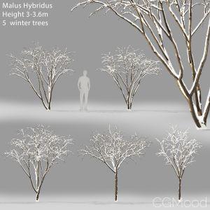 Malus Hybridus Winter #1