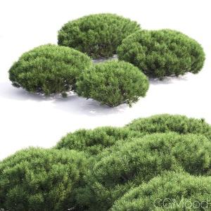 Pinus Mugo #4